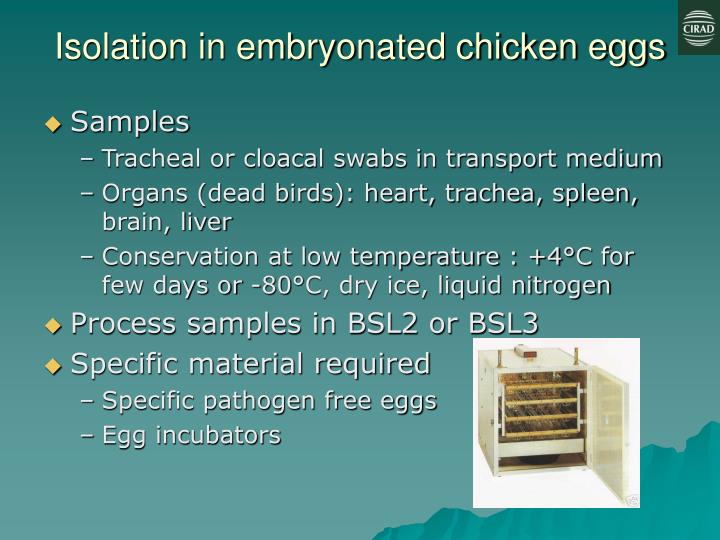 Isolation in embryonated chicken eggs