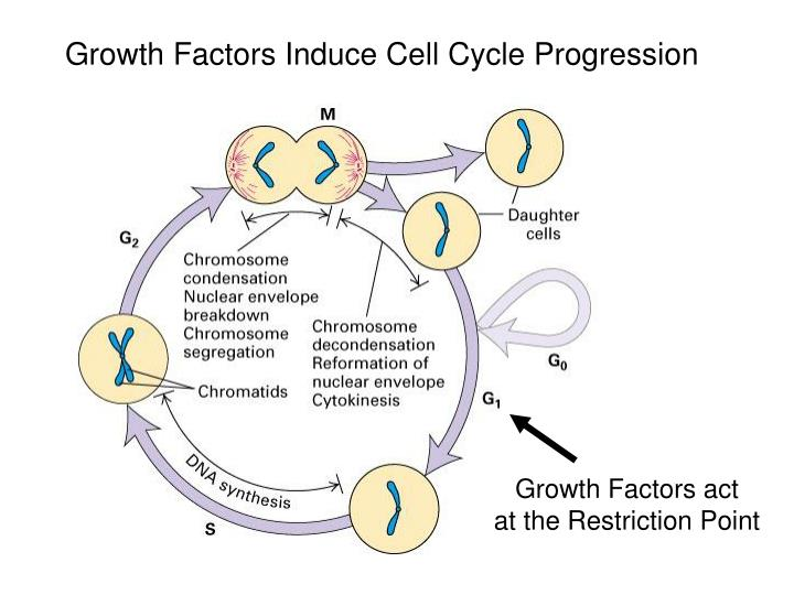 Growth Factors Induce Cell Cycle Progression