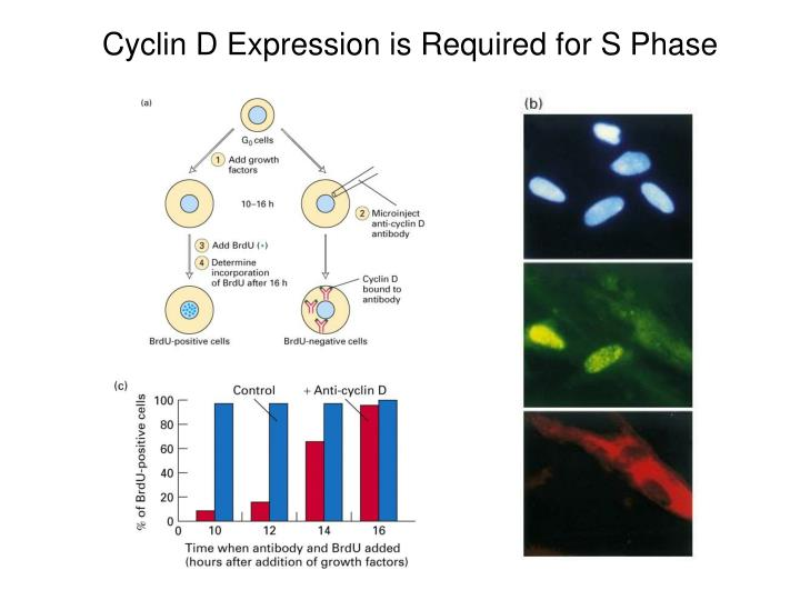 Cyclin D Expression is Required for S Phase
