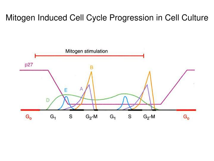 Mitogen Induced Cell Cycle Progression in Cell Culture