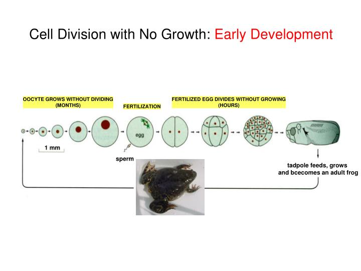 Cell Division with No Growth:
