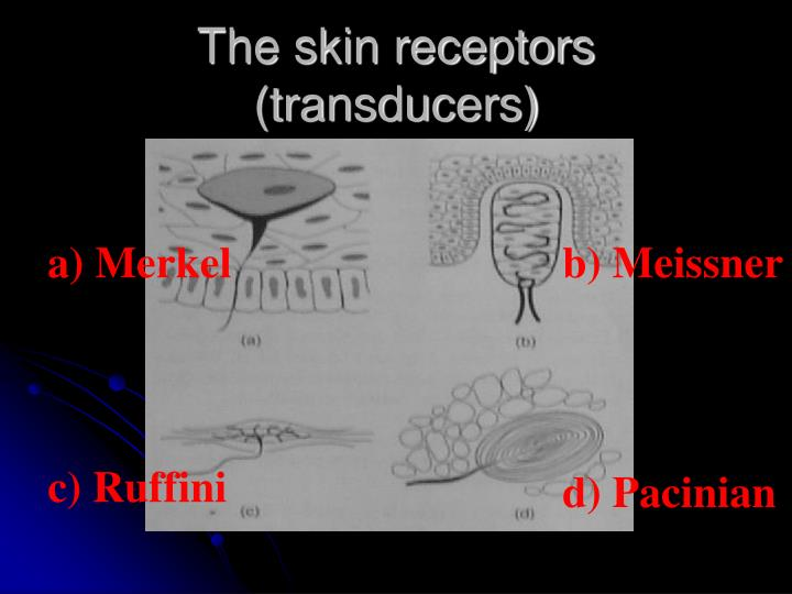 The skin receptors (transducers)