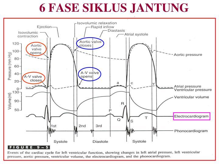 6 FASE SIKLUS JANTUNG