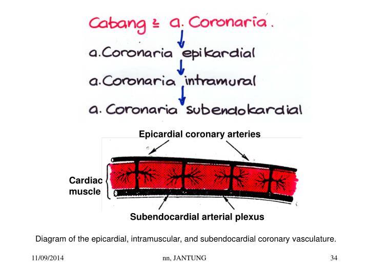 Epicardial coronary arteries