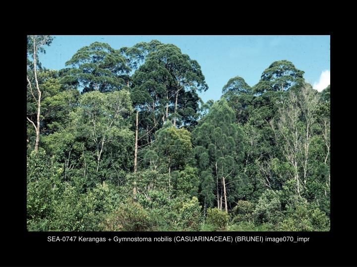 SEA-0747 Kerangas + Gymnostoma nobilis (CASUARINACEAE) (BRUNEI) image070_impr