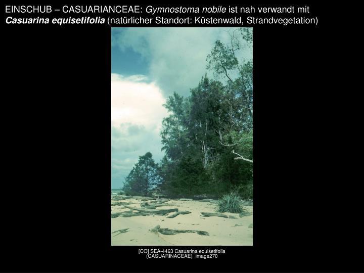 EINSCHUB – CASUARIANCEAE: