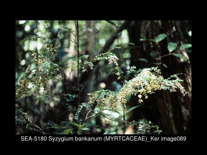 SEA-5180 Syzygium