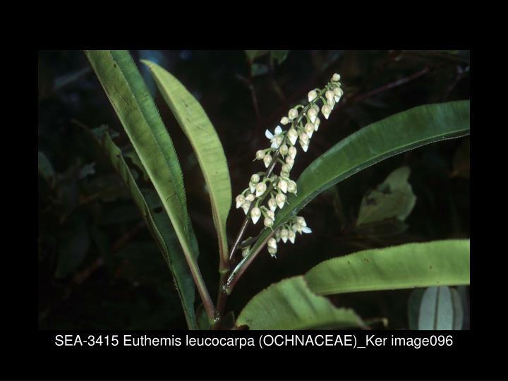 SEA-3415 Euthemis leucocarpa (OCHNACEAE)_Ker image096