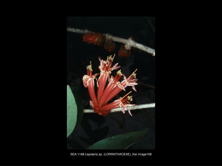 SEA-1168 Lepidaria sp. (LORANTHACEAE)_Ker image108