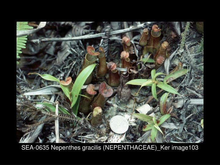 SEA-0635 Nepenthes gracilis (NEPENTHACEAE)_Ker image103