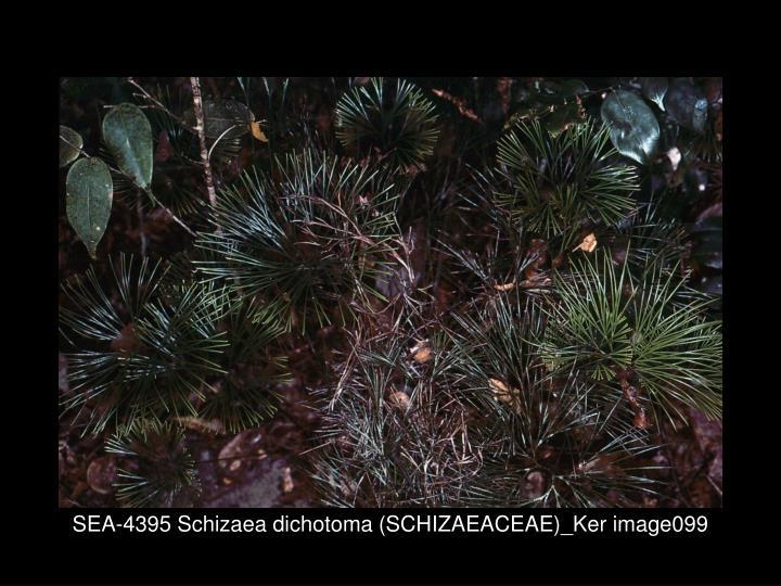 SEA-4395 Schizaea dichotoma (SCHIZAEACEAE)_Ker image099