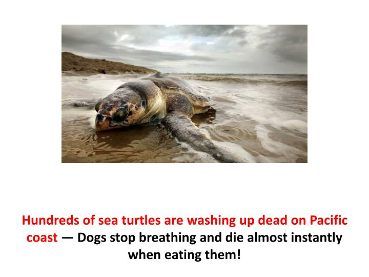Hundreds of sea turtles are washing up dead on Pacific coast