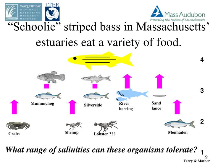 """Schoolie"" striped bass in Massachusetts' estuaries eat a variety of food."