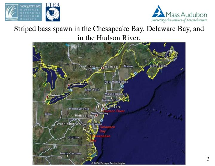 Striped bass spawn in the Chesapeake Bay, Delaware Bay, and in the Hudson River.