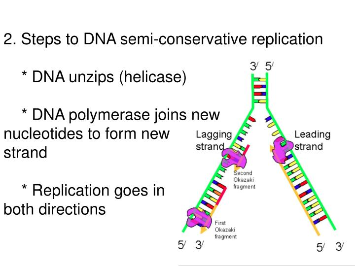 2. Steps to DNA semi-conservative replication