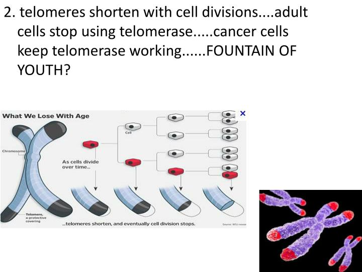 2. telomeres shorten with cell divisions....adult cells stop using telomerase.....cancer cells keep telomerase working......FOUNTAIN OF YOUTH?