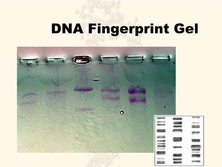 DNA Fingerprint Gel