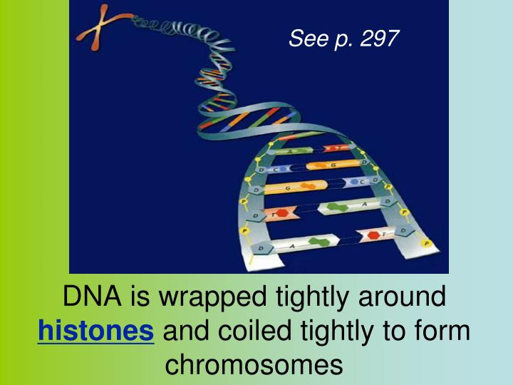 DNA is wrapped tightly around