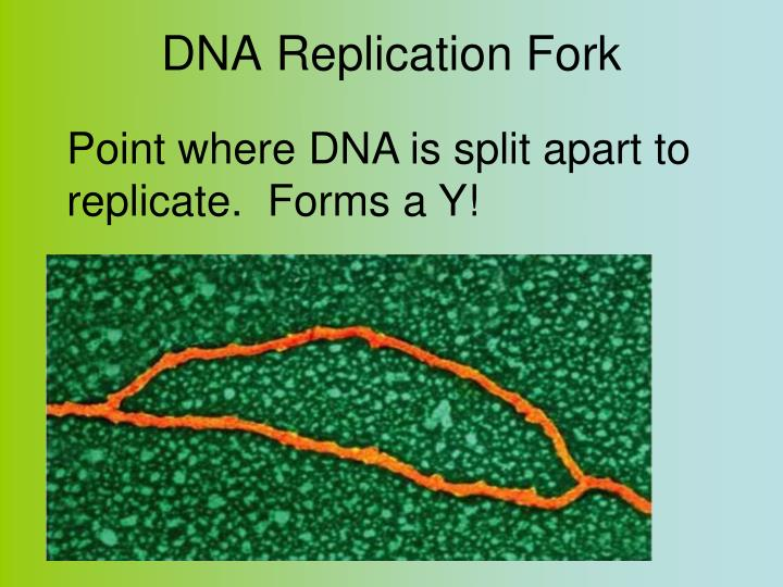 DNA Replication Fork