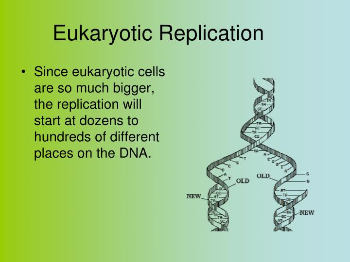Eukaryotic Replication