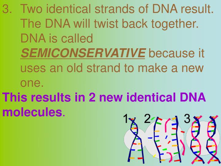 Two identical strands of DNA result.  The DNA will twist back together.  DNA is called