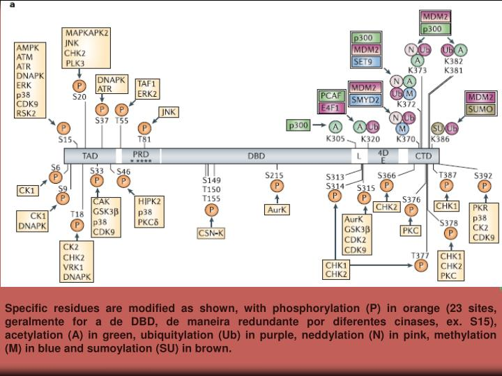 Specific residues are modified as shown, with phosphorylation (P) in orange (23 sites, geralmente for a de DBD, de maneira redundante por diferentes cinases, ex. S15), acetylation (A) in green, ubiquitylation (Ub) in purple, neddylation (N) in pink, methylation (M) in blue and sumoylation (SU) in brown.