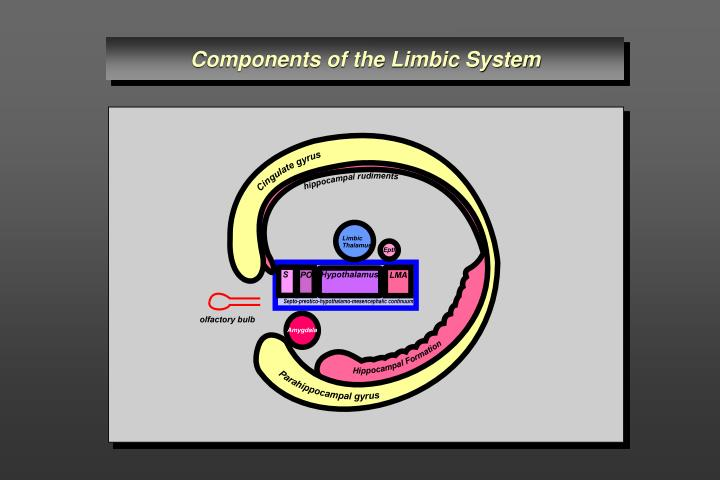 Components of the Limbic System
