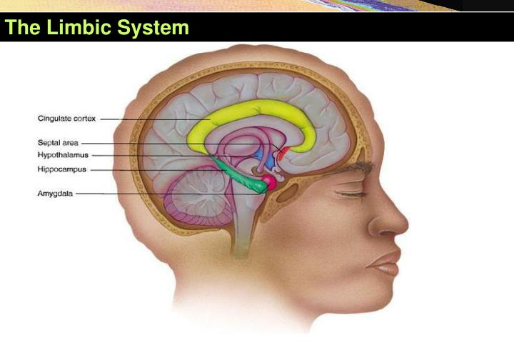 The limbic system1