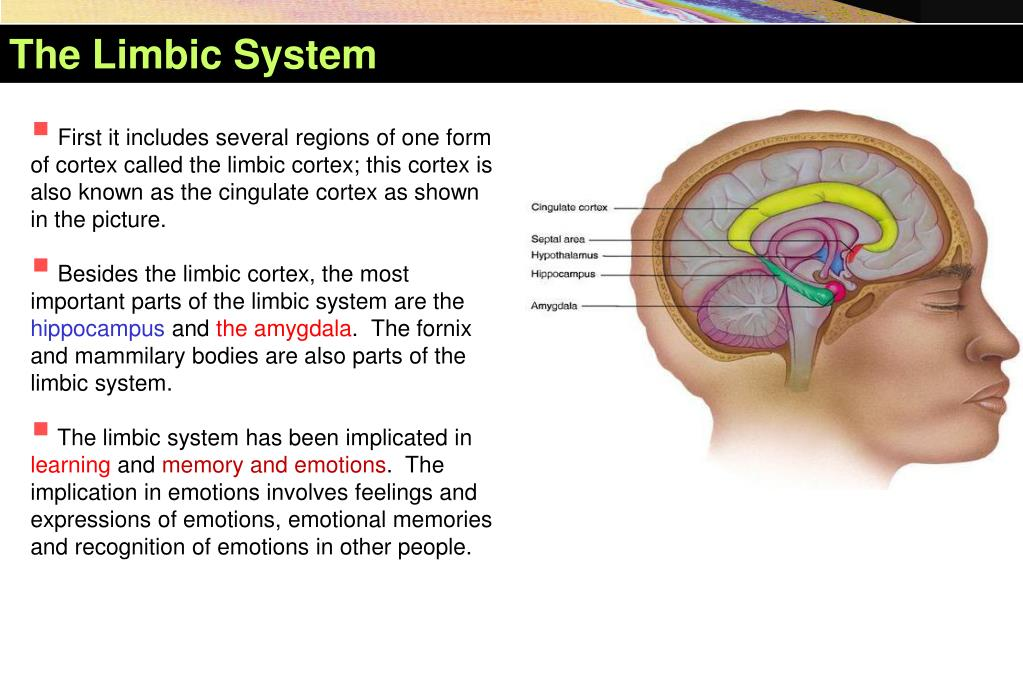 PPT - The Limbic System PowerPoint Presentation, free ...