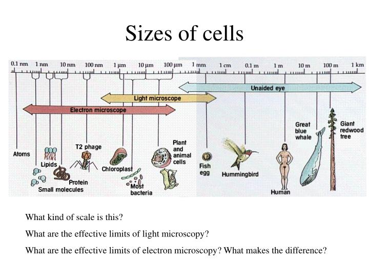 Sizes of cells