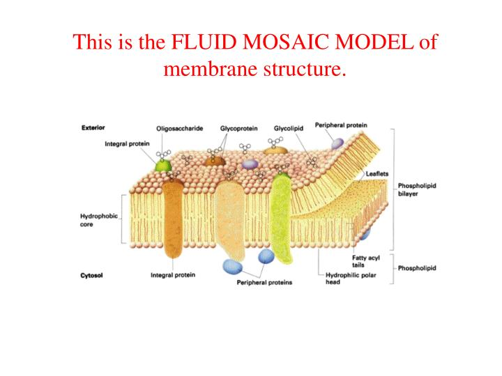 This is the FLUID MOSAIC MODEL of membrane structure.