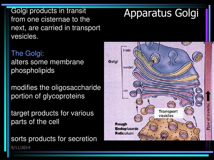 Golgi products in transit from one cisternae to the next, are carried in transport vesicles.