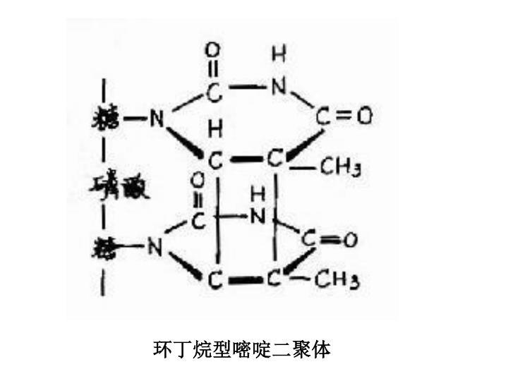 环丁烷型嘧啶二聚体