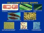 cells come in many shapes