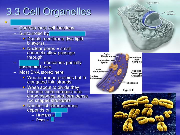 3.3 Cell Organelles
