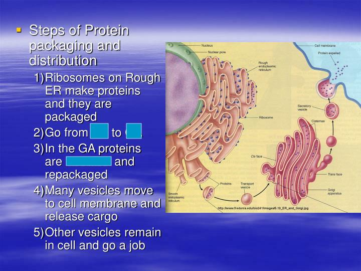 Steps of Protein packaging and distribution