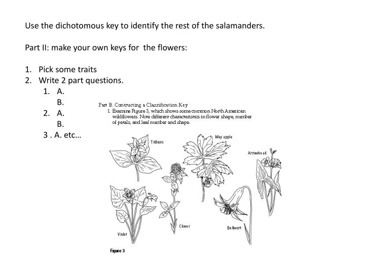 Use the dichotomous key to identify the rest of the salamanders.