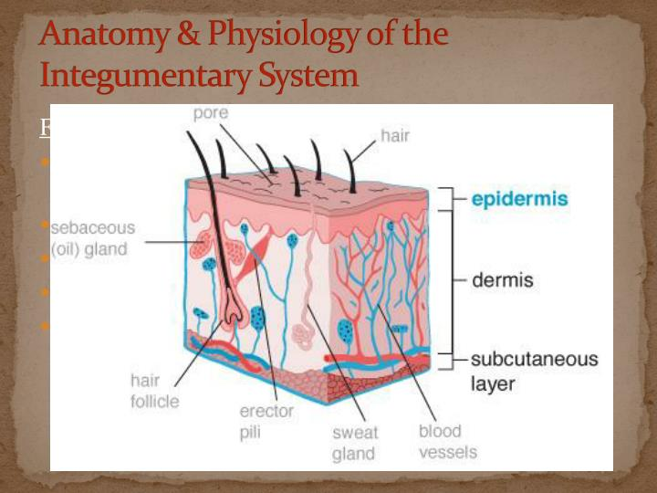 Anatomy & Physiology of the Integumentary System