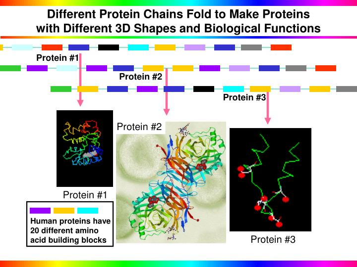 Different Protein Chains Fold to Make Proteins