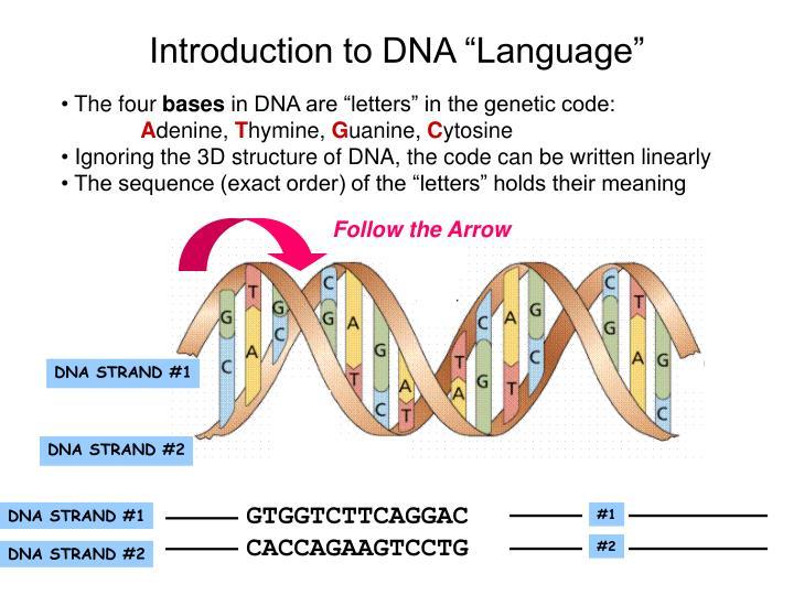 DNA STRAND #1