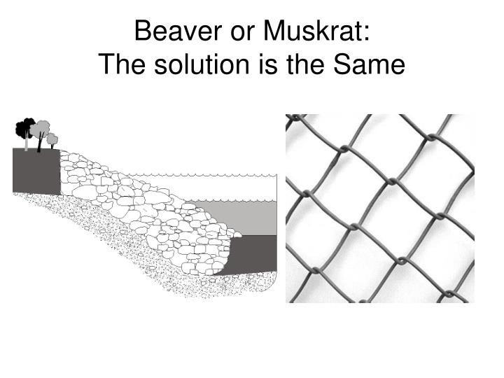 Beaver or Muskrat:
