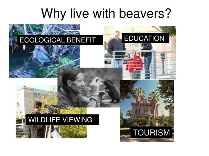 Why live with beavers?
