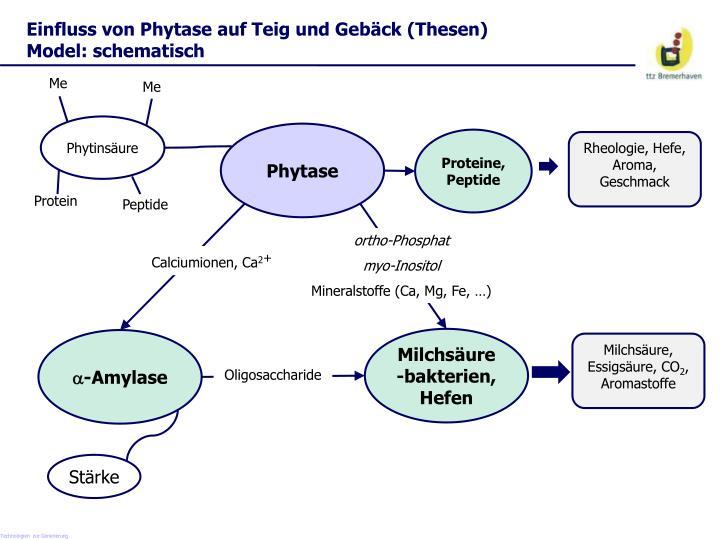 Einfluss von Phytase auf Teig und Gebäck (Thesen) Model: schematisch