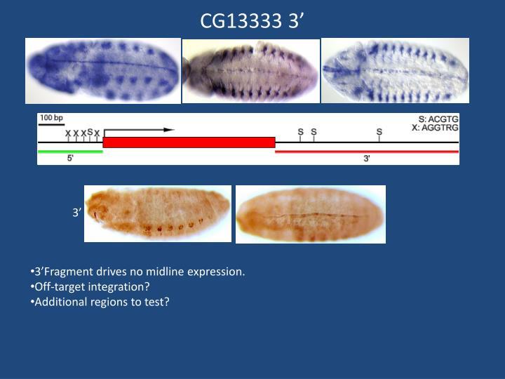 CG13333 3'