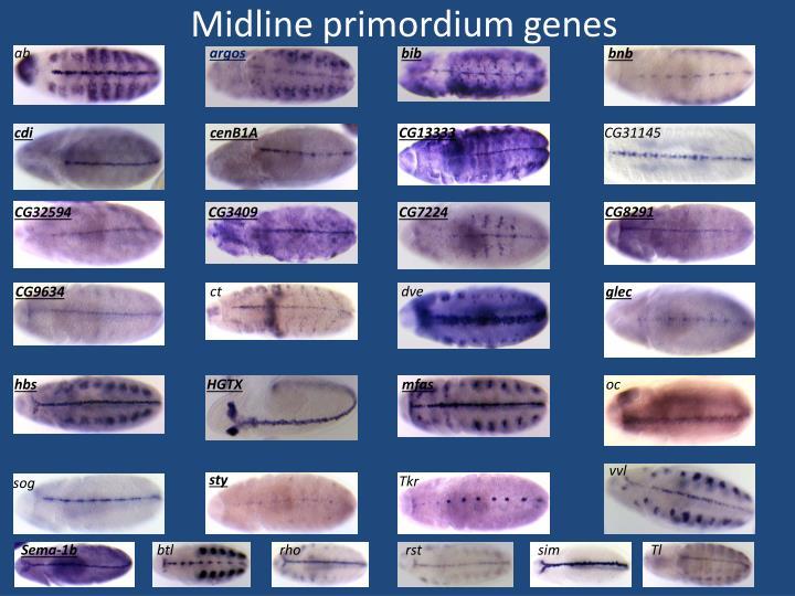 Midline primordium genes