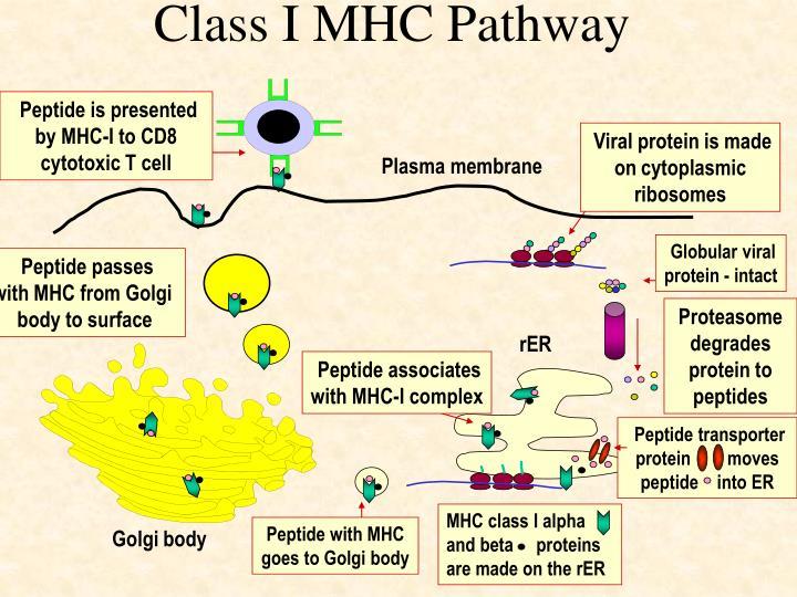 Class I MHC Pathway