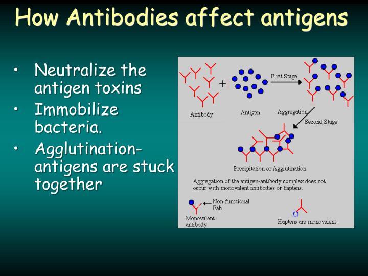 How Antibodies affect antigens