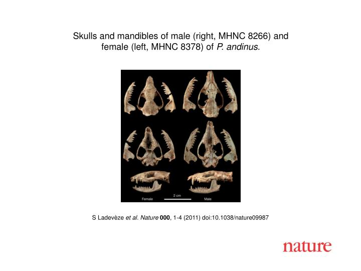 Skulls and mandibles of male (right, MHNC 8266) and