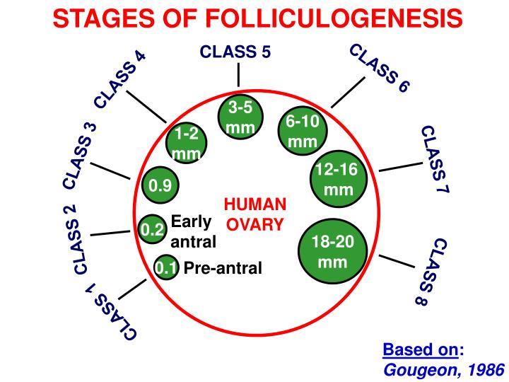 STAGES OF FOLLICULOGENESIS
