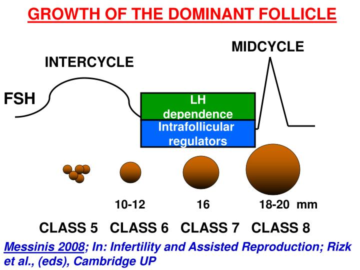 GROWTH OF THE DOMINANT FOLLICLE